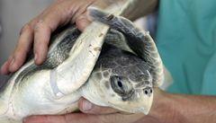 Pašovali želvy ve svačinových krabicích, Japoncům hrozí vězení