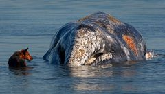 Na americké pláži uvízla mladá velryba. Osvobodil ji příliv