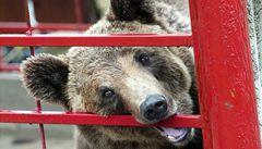 Medvěd zatroubil na klakson a vyjel si autem. Pak ho zdemoloval