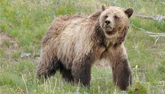 Yellowstone varuje turisty: medvědi grizzly jsou letos hladoví