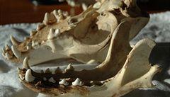 Vědci ve Švýcarsku identifikovali údajně nejstarší pozůstatky psa