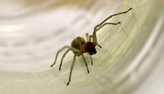Jedovatí pavouci u Litoměřic: kousnutí se podobá bodnutí sršně