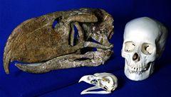 Jihoamerický prapták Andalgalornis používal zobák jako sekeru