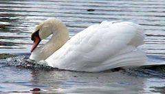 Skupinu ornitologů při kroužkování labutí napadli dva muži. Mysleli si, že ptáky týrají