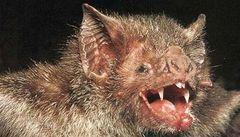 Objev: za nachlazení a spalničky mohou netopýři