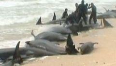Pomoc přišla pozdě. Do moře se vrátilo jen 11 z 58 velryb