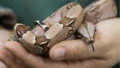 Malajsijci se otevřel na letišti kufr s 95 hady, které pašoval