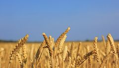 Rozluštěná pšenice? Britové spíše vypustili přifouknutou bublinu