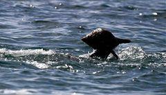 Delfíni používají nástroje: chytají ryby do ulit
