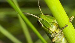 Vědci zrekonstruovali cvrkání kobylek z pravěku