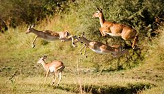 Antilopy a další zvířata vyhrála v Ugandě boj s pytláky