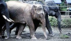 V Barmě chytili vzácného bílého slona. Slibuje to prý mír a prosperitu