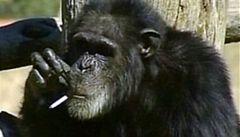 Šimpanz, který kouřil a žebral sladkosti, uhynul