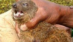 Vědci objevili na Madagaskaru nový druh masožravého savce