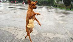 Pes jako dítě. Vodili ho za přední packu, od té doby chodí po zadních
