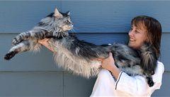 Nejdelší kocour na světě je Stewie z Nevady, měří 123 centimetrů