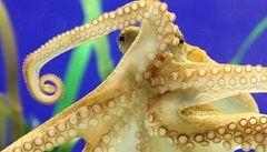 Věštecká chobotnice Paul už má svého nástupce, také Paula