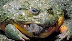 Podívejte se: Drsná tvář přírody. Obří žába polyká myš