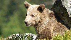 OBRAZEM: Pod tratí v Beskydech už chodí medvědi