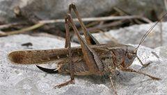 Běžná luční kobylka má největší varlata na světě, zjistili vědci