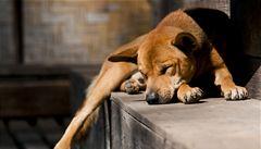 Policie našla v plzeňském bytě 60 psů, majitelku podezírá z týrání