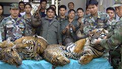 Hrozí tygrům vymření. Pytláci je lovili po tisících, nyní jich zbylo už jen 3200