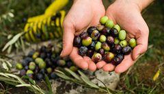 Olivový olej míří z jihu. Ve Španělsku právě sklízejí a lisují
