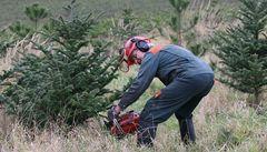 Vánoční stromky končí v kotlích a štěpkovačích
