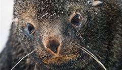 V Kalifornii moře vyplavuje tisíce lachtanů, hlavně mláďat