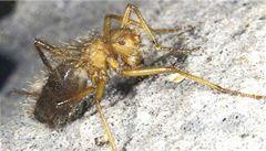 V Keni objevili chlupatou mouchu, která vypadá jako pavouk