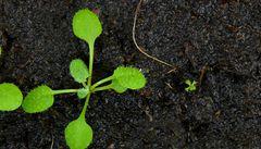 Češi našli molekuly, které řídí dělení rostlinných buněk