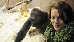 Moja, první gorila narozená v české zoo, oslavila šesté narozeniny