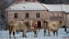 Zubožené stádo u Prahy: býky čeká porážka, krávy si majitel odveze