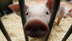 V Česku se prodávalo vepřové maso s lékem proti parazitům