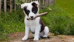 První naklonovaný pes? Směšné plýtvání penězi, zní z Británie