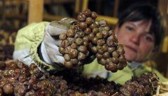 PODÍVEJTE SE: Vinaři začínají s přípravou slámových vín
