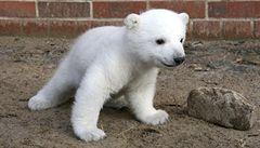 Německo smutní: uhynula hvězda berlínské zoo, lední medvěd Knut