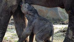 Matka slůněte z ostravské zoo se zklidnila, dovolila mláděti pít