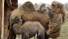 Velblouda z plzeňské zoo pokřtila skupina Horkýže Slíže