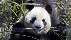 Slavná panda Lin-pching kvůli hledání partnera opustí Thajsko