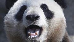 Panda jako úspěšný čínský kulturní ambasador