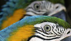 Češi v Rakousku pašovali papoušky, jeden měl ptačí chřipku
