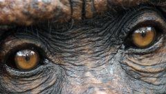 Opicím 'vylepšili' mozek implantátem, za odměnu dostaly pamlsek