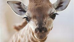 Pražská žirafa Doubravka má za kmotra ministra