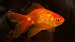 Účinný lék na astma? V Indii polykají živé rybky