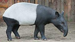 Tapír čabrakový poprvé v zlínské zoo