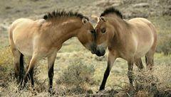 Koně Převalského z Prahy vyběhli do mongolské stepi