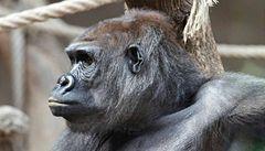 Gorila Bikira porodila. K mláděti se však nemá