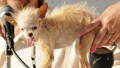 Nejošklivějším psem světa se stala fena Yoda