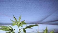 Americká metropole je pro legalizaci držení marihuany